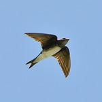 Caribbean martin (female), Great Bird Island, Antigua, 2013