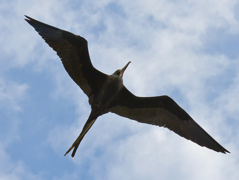 Magnificent frigatebird (adult male), Codrington Lagoon, Barbuda, 2013