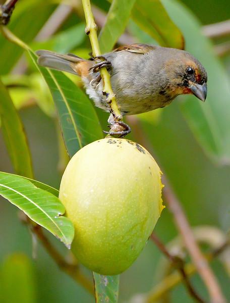 Lesser Antillean bullfinch, Christian Valley, Antigua, 2013
