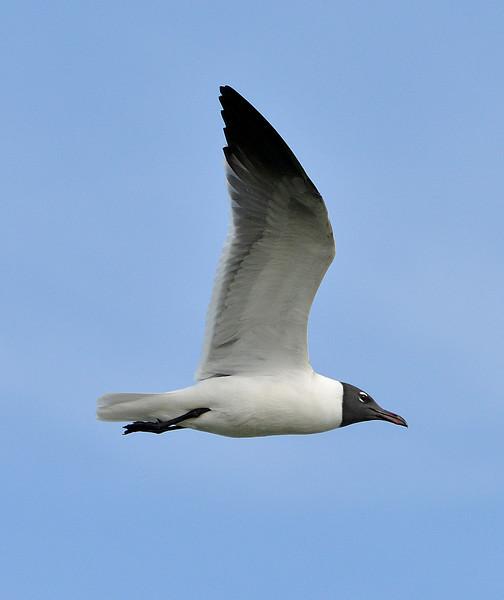 Laughing gull, Antigua, 2013