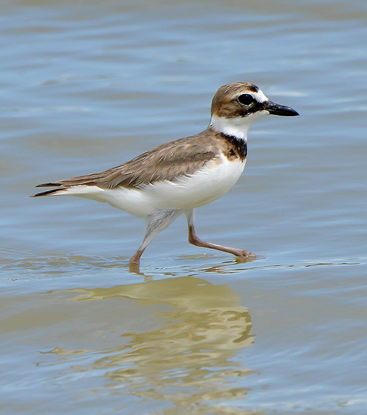 Wilson's plover (male), Antigua, 2013