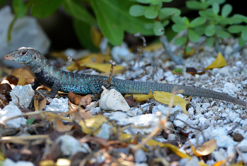 Antigua ground lizard (Ameiva griswoldi), Antigua, 2013