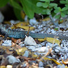 Antigua ground lizard (Ameiva griswoldi), Antigua, 2013