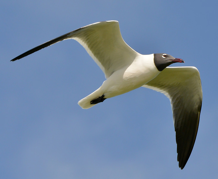Laughing gull, Antigua, 2013