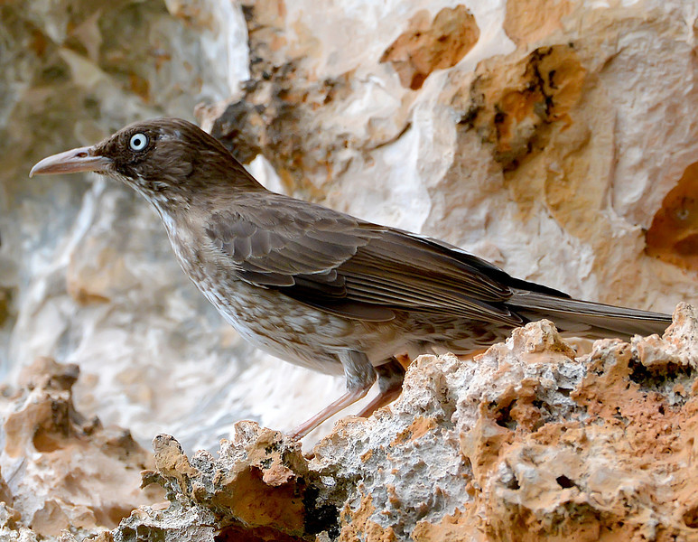 Pearly-eyed thrasher, Barbuda, 2013