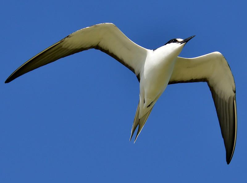 Sooty tern, Great Bird Island, Antigua, 2013