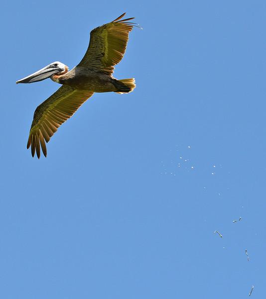 Brown pelican with bird splat, Antigua, 2013