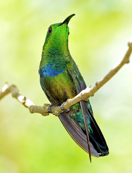 Green-throated carib, Antigua, 2013