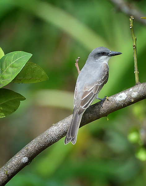 Gray kingbird, Christian Valley, Antigua, 2013