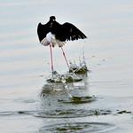 Black-necked stilt, McKinnons Pond, Antigua, 2013