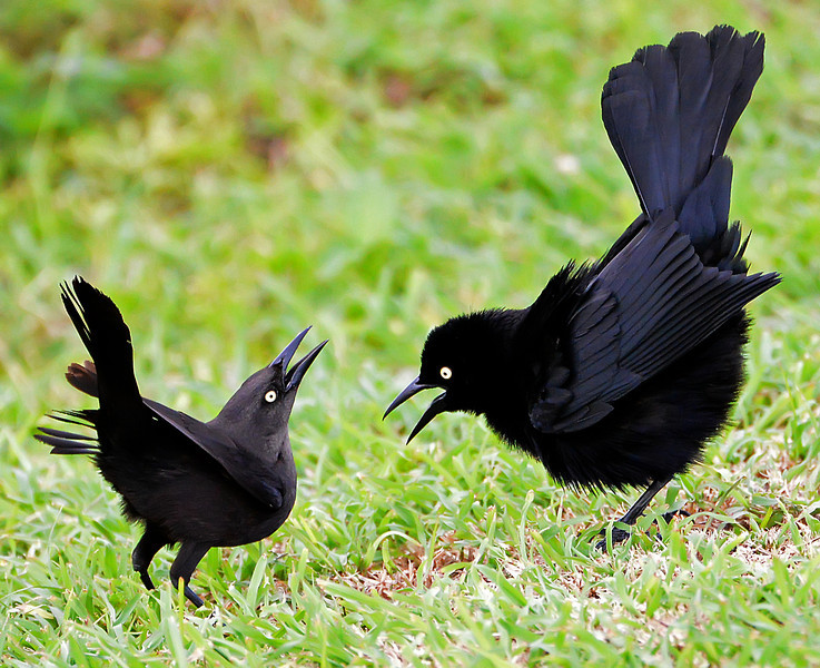 Carib grackles, Antigua, 2013