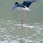 Black-necked stilt, Darkwood, Antigua, 2013