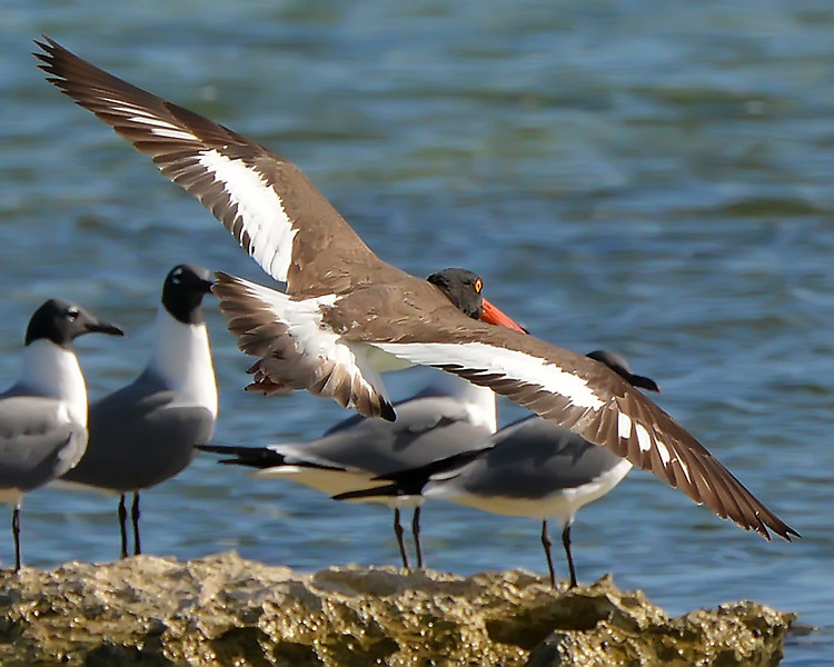 American oystercatcher, Offshore Islands, Antigua, 28 April 2013, by Ted Lee Eubanks.