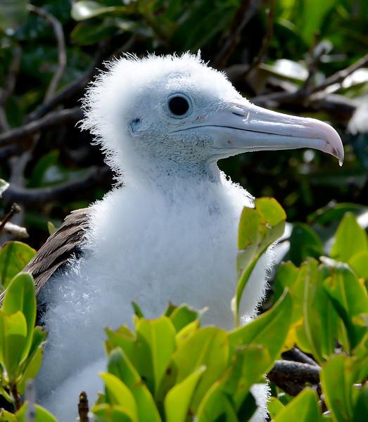 Magnificent frigatebird (nestling), Codrington Lagoon, Barbuda, 2013