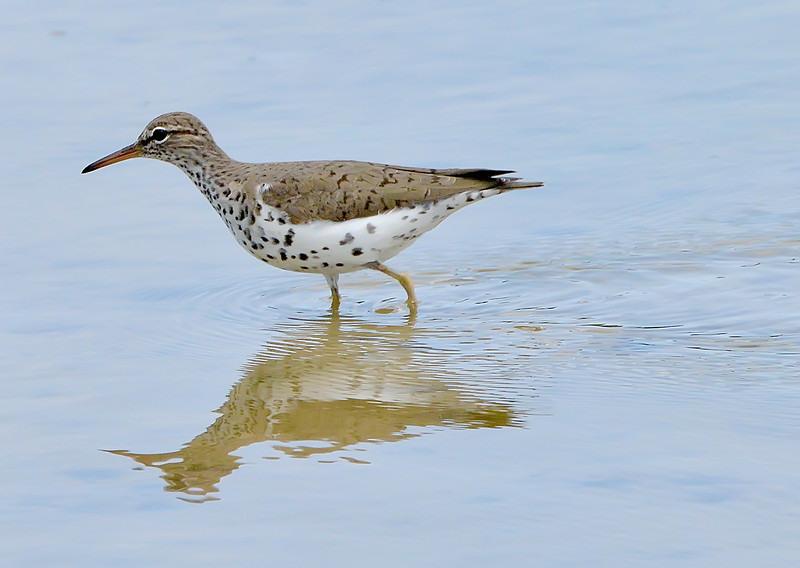 Spotted sandpiper, Darkwood, Antigua, 2013
