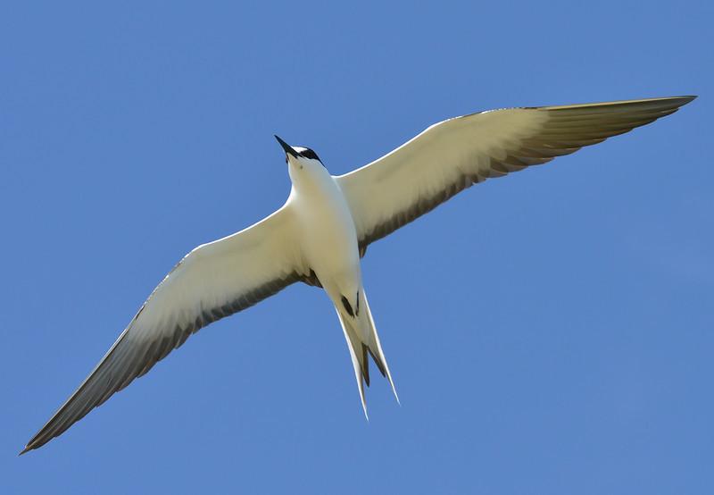 Sooty tern, Antigua, 2013