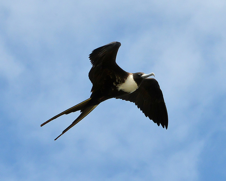 Magnificent frigatebird (adult female), Codrington Lagoon, Barbuda, 2013