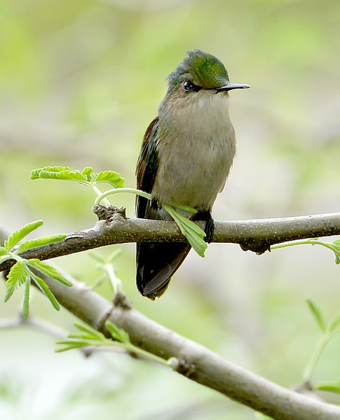 Antillean crested hummingbird, Antigua, 2013