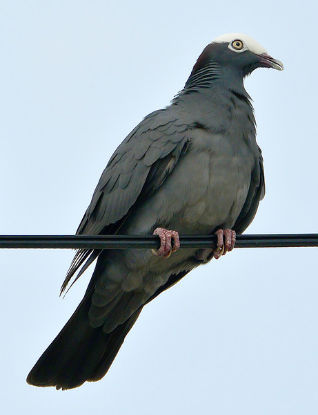 White-crowned pigeon, Antigua, 2013
