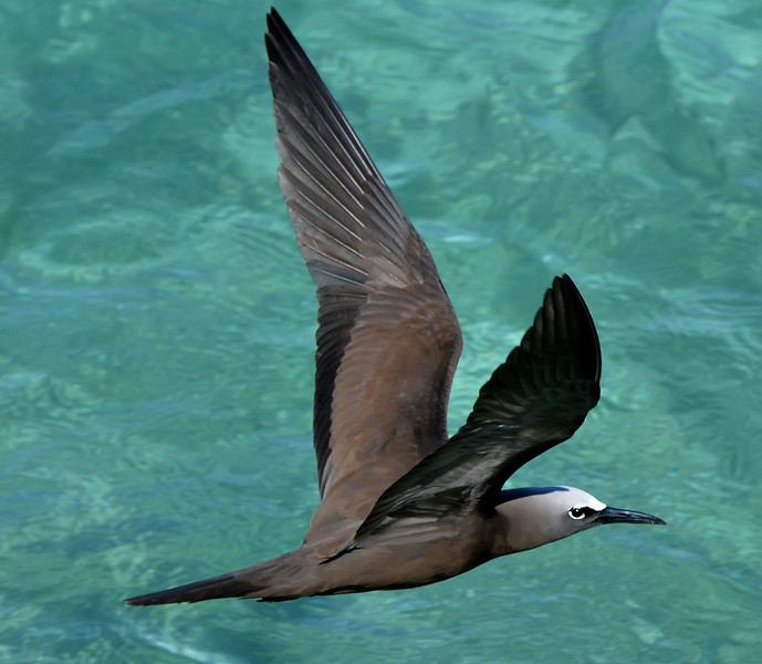 Brown noddy, Antigua, 2013