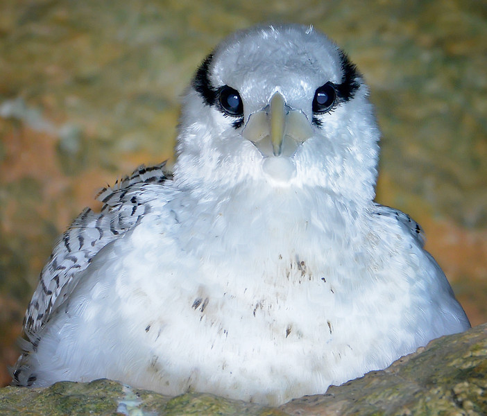 Red-billed tropicbird chick, Antigua (Great Bird Island), 2013