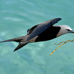Brown noddy with nesting material, Antigua, 2013