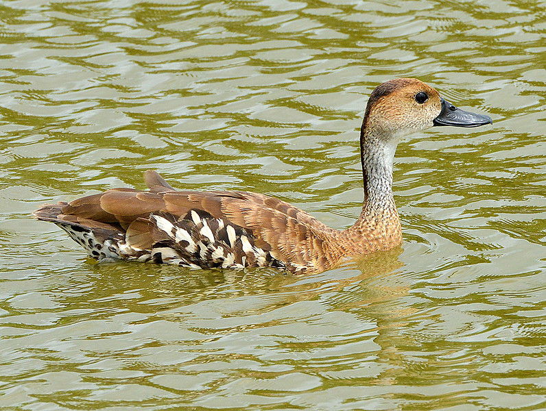 West Indian whistling-duck, McKinnons Salt Pond, Antigua, 26 June 2013, by Ted Lee Eubanks.