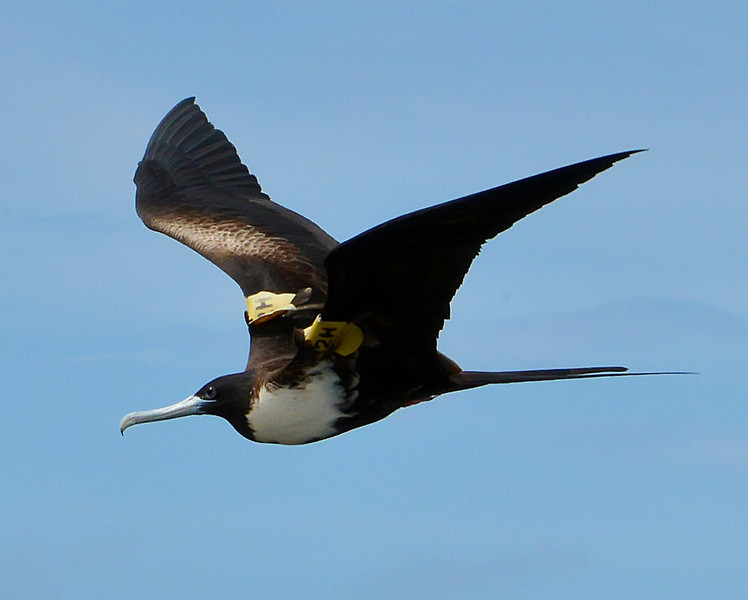 Magnificent frigatebird (adult female) with wing flags, Barbuda, 2013