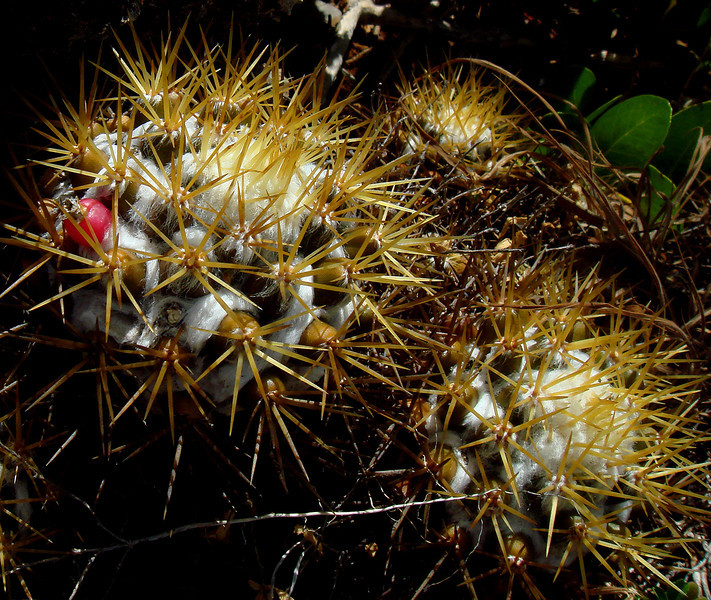 Mammillaria nivosa, Two Foot Bay National Park, Barbuda