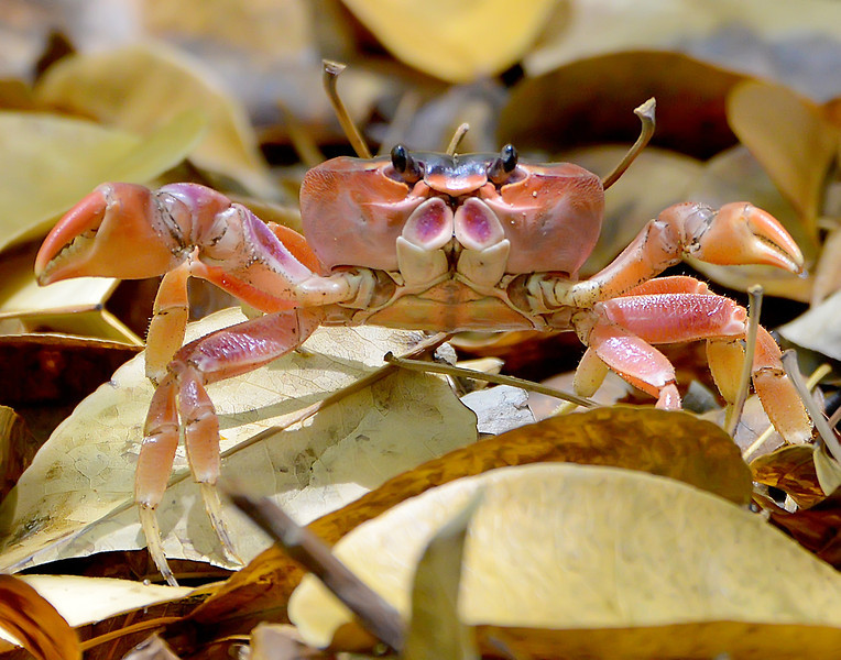 Red crab, Barbuda, 2013