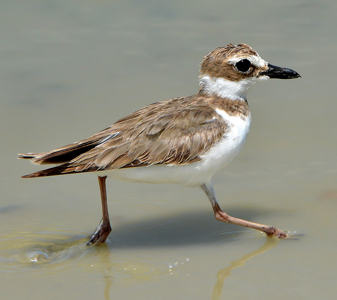 Wilson's plover (female), McKinnons Pond, Antigua, 2013