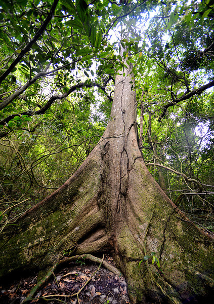 Buttress tree, Wallings Reservoir, Antigua, 2013