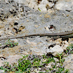 Antigua ground lizard (Ameiva griswoldi), Antigua (Great Bird Island), 2013