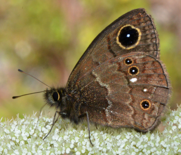 Another C. grannus grannus, the number of eye spots on the hind wing are variable