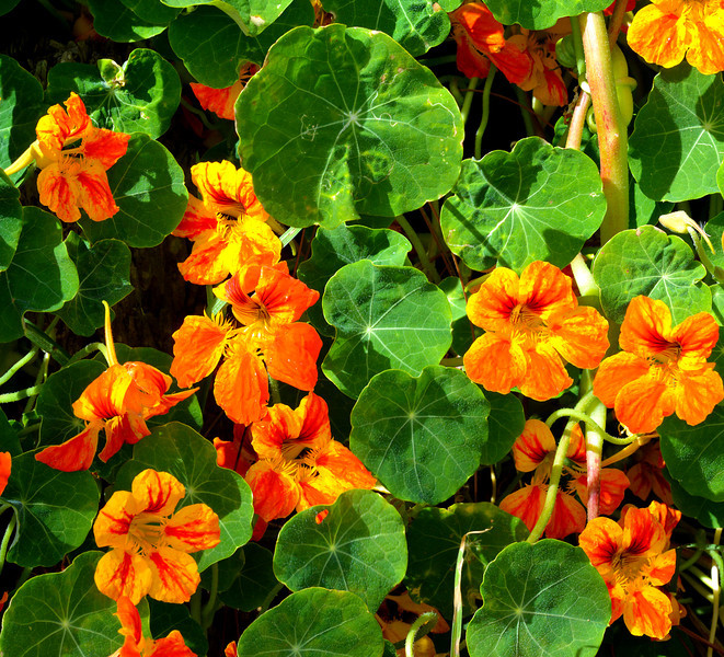 Nasturtiums at Villa Pajon (wonderful in a salad)