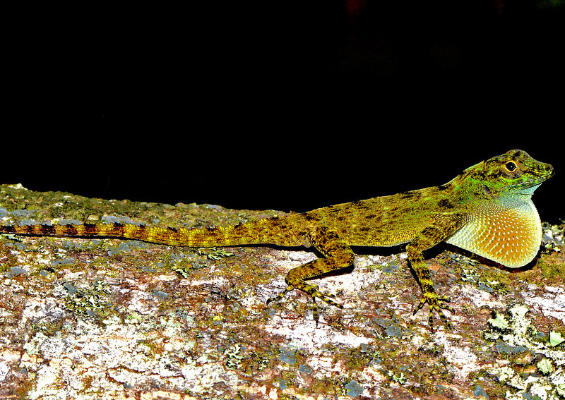 Anole displaying at Cachote in the Sierra de Bahoruco Oriental