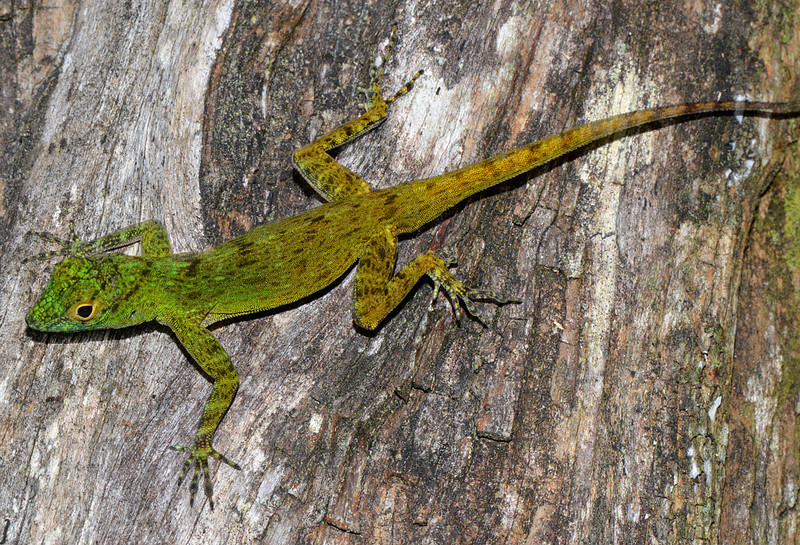 My favorite anole from Canto del Jilguero