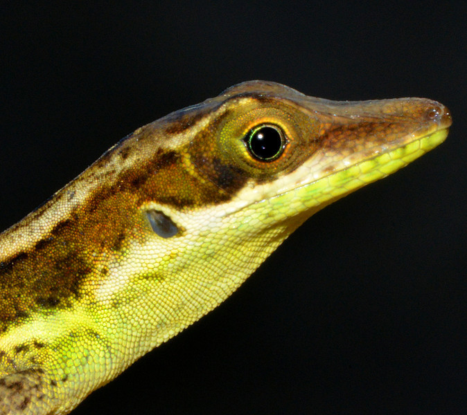 Anole endemic to Cachote in the Sierra de Bahoruco Oriental