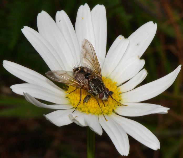 Bombylid (bee fly) photographed near Villa Pajon, Parque Nacional Valle Nuevo
