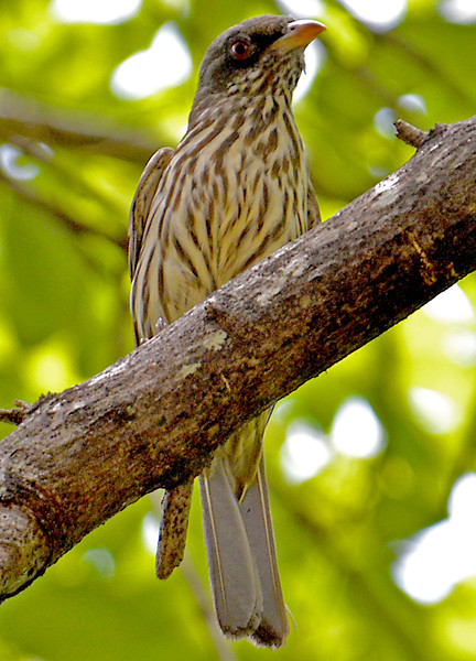 Palmchat, the national bird of the Dominican Republic