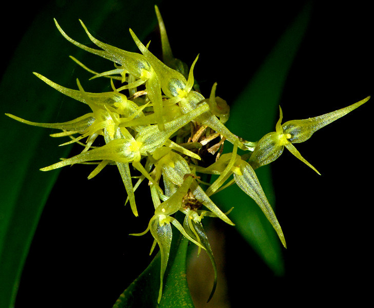 Endemic Orchid from Cachote, Dominican Republic