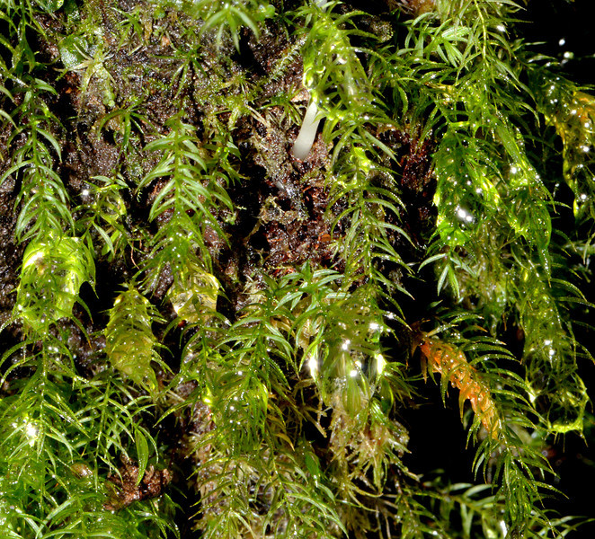 Bryophytes along the trail between Canto del Jilguero and Cachote