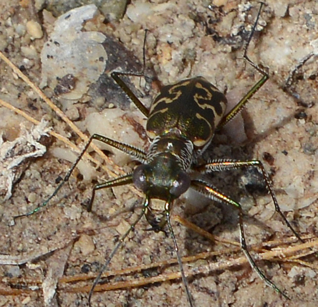 Tiger-beetle on the beach at Pedernales