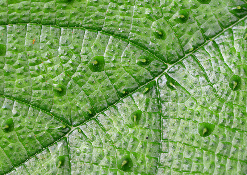 Close up of a leaf photographed near Cachote
