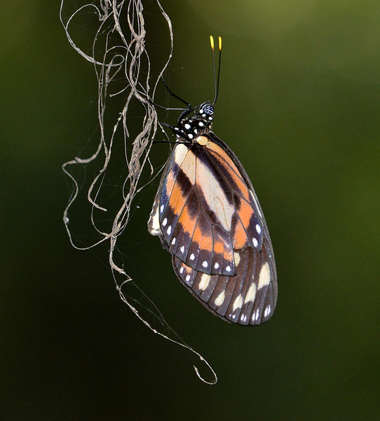 Heliconian butterfly, photographed on the Sendero en Sueno near Villa Barrancoli and the Sierra de Bahoruco.