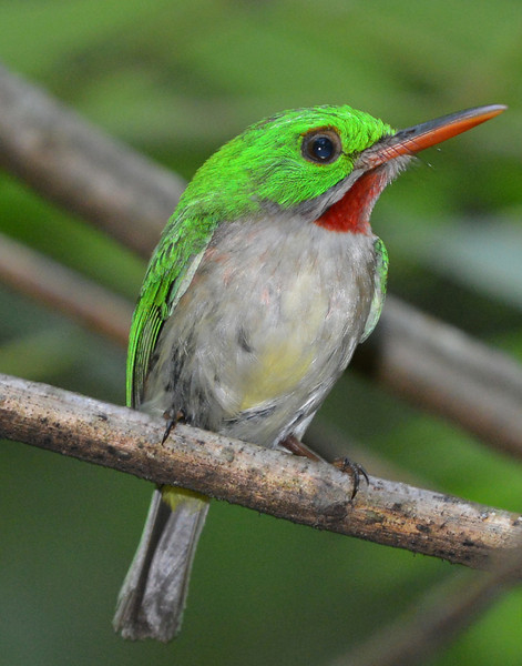 Broad-billed tody (barrancoli) photographed along the Rabo del Gato.