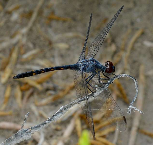 Seaside dragonlet (male) photographed at Pedernales