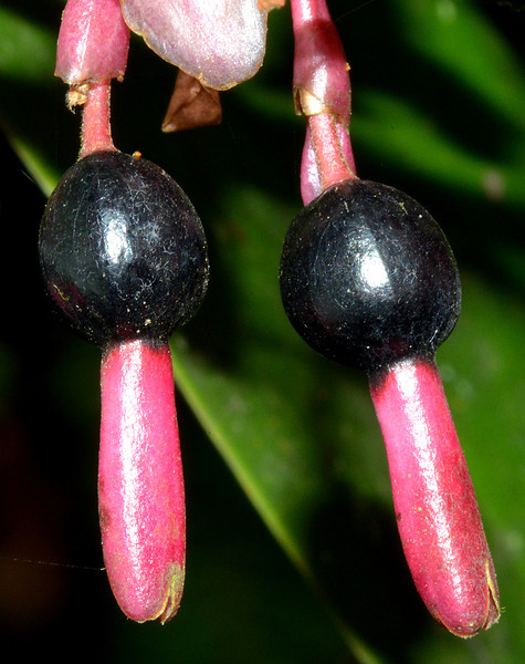 Unknown fruit photographed near Cachote, Sierra de Bahoruco Oriental