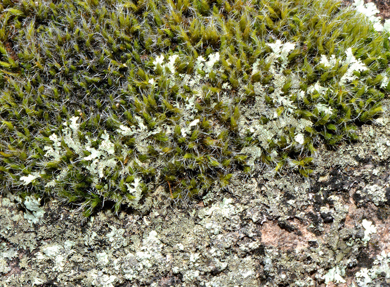 Lichen and bryophytes on the surface of lava boulders in Parque Nacional Valle Nuevo