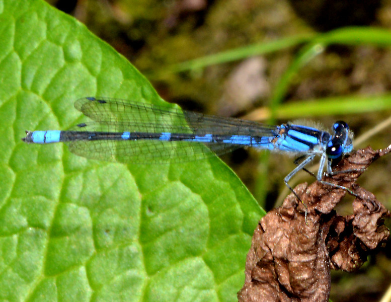 Unidentified dancer (Argia) from Parque Nacional Valle Nuevo